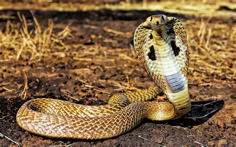 Indian King Cobra Snake Wallpapers - Wallpaper Cave