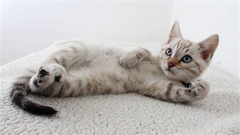 como demuestran el amor los gatos