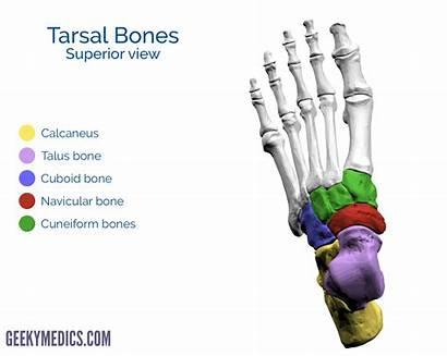Bones Foot Tarsal Superior Anatomy Bone Metatarsal