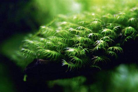 moos für aquarium five of the best aquarium mosses practical fishkeeping magazine