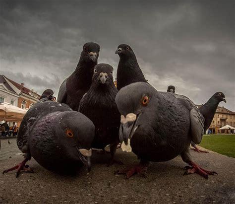 pigeons     big problem  vienna austria