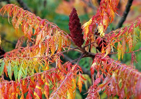 essigbaum kolben sumach garden and flowers pflanzen