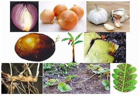 contoh tumbuhan berkembangbiak secara