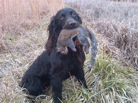 boykin spaniel sporting dogs pinterest spaniels and