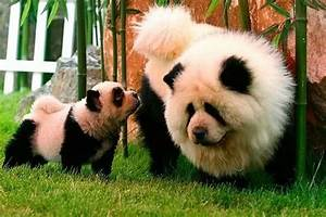 Panda Dog | Big Fluffy Chow Chows | Pinterest | Panda dog ...