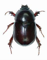 Scarab Beetle Scientific Name