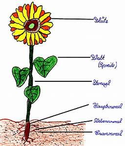 Aufbau Einer Blume : der bau einer bl tenpflanze ~ Whattoseeinmadrid.com Haus und Dekorationen