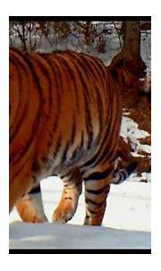 Video of Wild Manchurian Tiger Captured in northeast China ...
