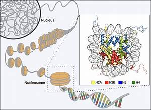 Diagram Of Chromatin : diagram of chromatin nucleosome structure okinawa ~ A.2002-acura-tl-radio.info Haus und Dekorationen