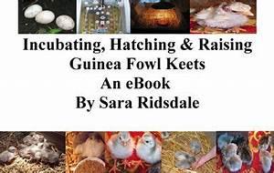Incubating Hatching Raising Guinea Fowl Keets An Ebook