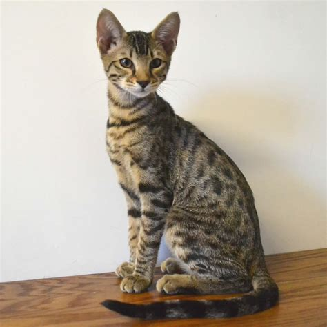 F6 Savannah Kittens For Sale Amanukatz Savannah Cats Ohio