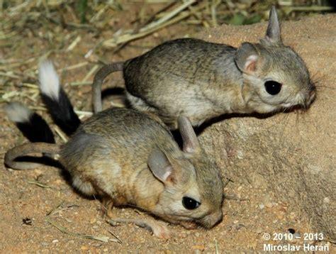rata canguro animales mascotas mercafauna