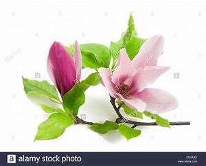 Fleur De Magnolia : fleur de magnolia rose isol sur fond blanc banque d ~ Melissatoandfro.com Idées de Décoration