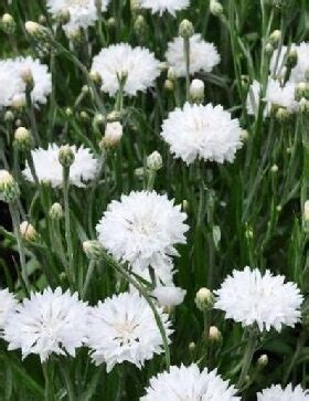 Rudzupuķes Ball White 50 g Muller - Puķes - profesionālās ...