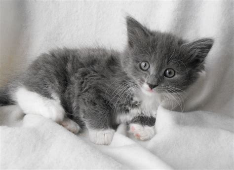 Cute Gray And White Kittens  Wwwpixsharkcom Images