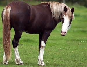 Flaxen Liver Chestnut Quarter Horse