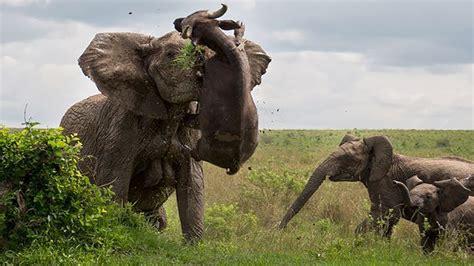 ataque de elefante bufalos leao  crocodilo tigre