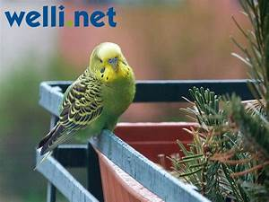 Fliegen Fernhalten Balkon : wellensittich entflogen wellensittich portal ~ Whattoseeinmadrid.com Haus und Dekorationen