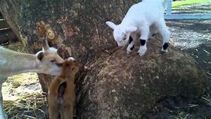 Dandy & Lion -- baby goats--climbing the tree, hopping ...