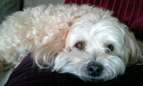how bad do havaneses shed advice from real havanese owners