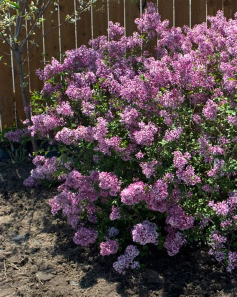 lilacs that bloom all summer bloomerang 174 lilac wyoming plant company