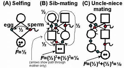 Inbreeding Genetic Depression Examples Breeding Animal Calculations