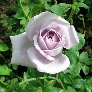 Mainzer Fastnacht Rose : file rose mainzer wikimedia commons ~ Orissabook.com Haus und Dekorationen
