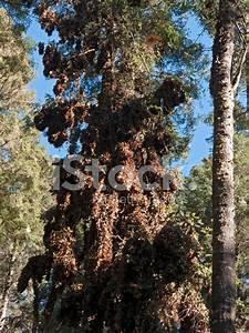 Monarch Butterflies Hibernating, Mexico stock photos ...