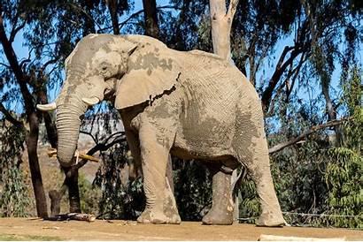 Elephant African Zoo Atlanta Welcome Diego Safari