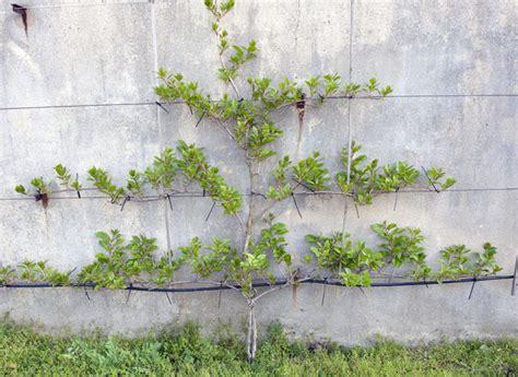 planter et palisser un pied de kiwi de sib 233 rie