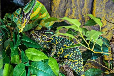 chameleons changing colors why can a chameleon change color answers and facts