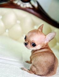 Cute Teacup Chihuahua Puppies