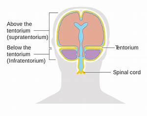 File Diagram Showing Where The Tentorium Is In The Brain