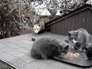 Possum Opossum Cat - YouTube