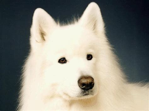 Samoyed Wallpapers Wallpaper Cave