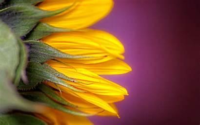 Sunflower Macro Yellow Desktop Pink Background Wallpapers