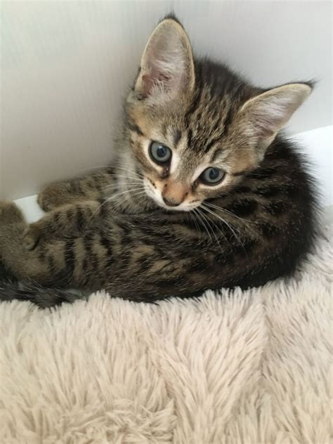 Kittens For Sale by 3 Kittens For Sale Andover Hshire Pets4homes