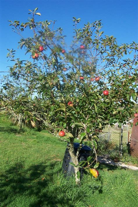 Garten Gestalten Obstbäume by Small Apple Tree Pictures To Pin On Pinsdaddy