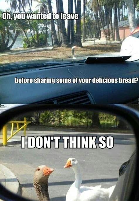 Funny Duck Meme - funny duck meme funny pinterest