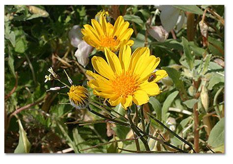 desert sunflower desertusa