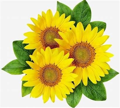 Sunflower Cartoon Clipart Sun Transparent Flowers Seed