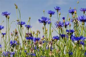 Graines Fleurs Des Champs : bleuet des champs semences bio graines bio fleurs e elementerre ~ Melissatoandfro.com Idées de Décoration