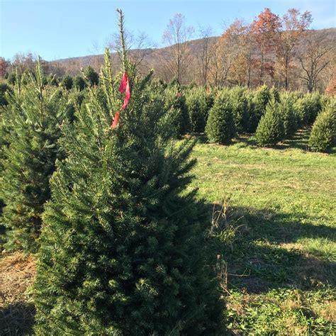 christmas tree farms pennsylvania freymoyer christmas tree farm local business hamburg 5061