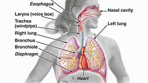Anatomy Of Larynx And Esophagus