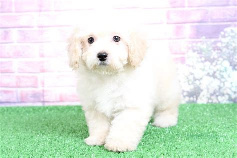robbie playful white tan male poochon puppy maryland puppies
