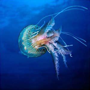 INFORMACION A.P.A.: CELENTERADOS: fotos de medusas