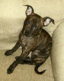 Brindle Chihuahua Mix Dogs