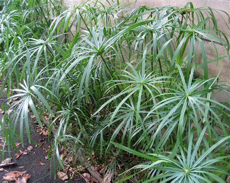 gardensonline cyperus involucratus