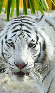 White Tiger Photograph by David Lee Thompson
