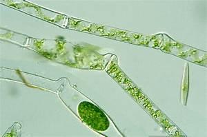 Protist Images: Spirogyra tenuissima